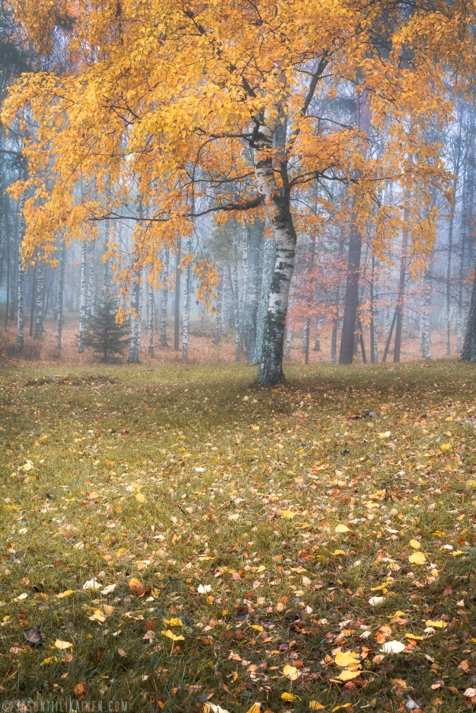 ''AUTUMN TREE''. Joensuu, Finland.