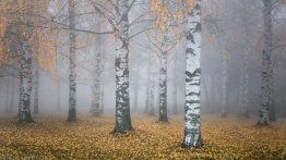 ''BIRCHES IN THE FOG''. Joensuu, Finland.