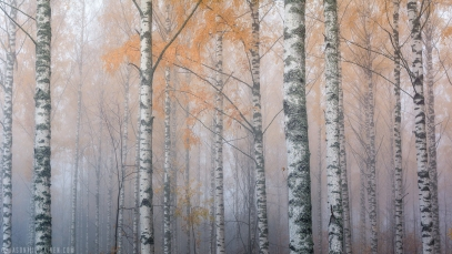 ''BIRCHES IN THE FOG II''. Joensuu, Finland.