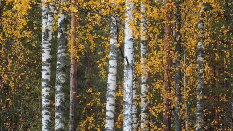 ''AUTUMN BIRCHES''. Finland.
