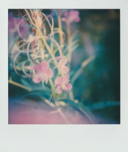 ''FLOWERS''. Polaroid.