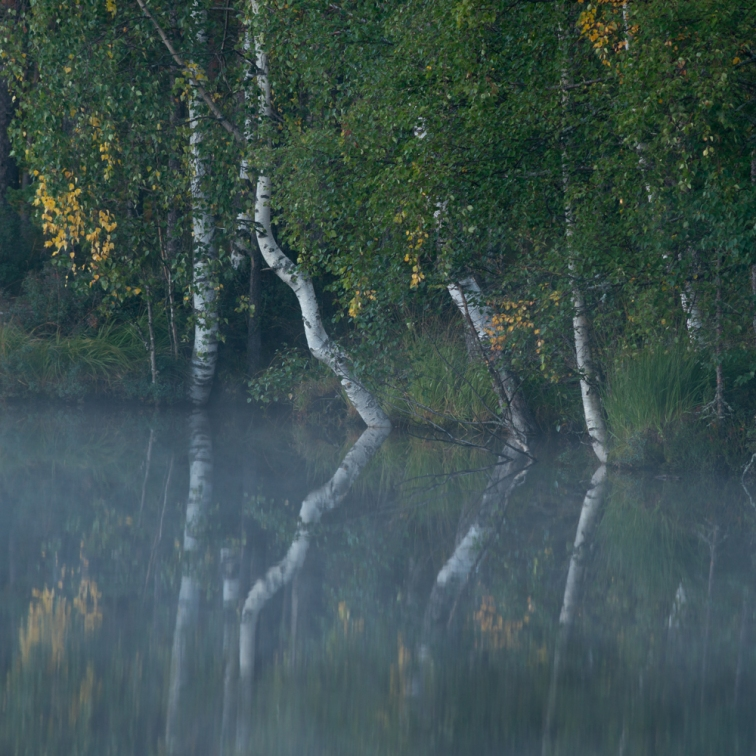 ''MISTY MORNING TREES''. Kontiolahti, Finland.
