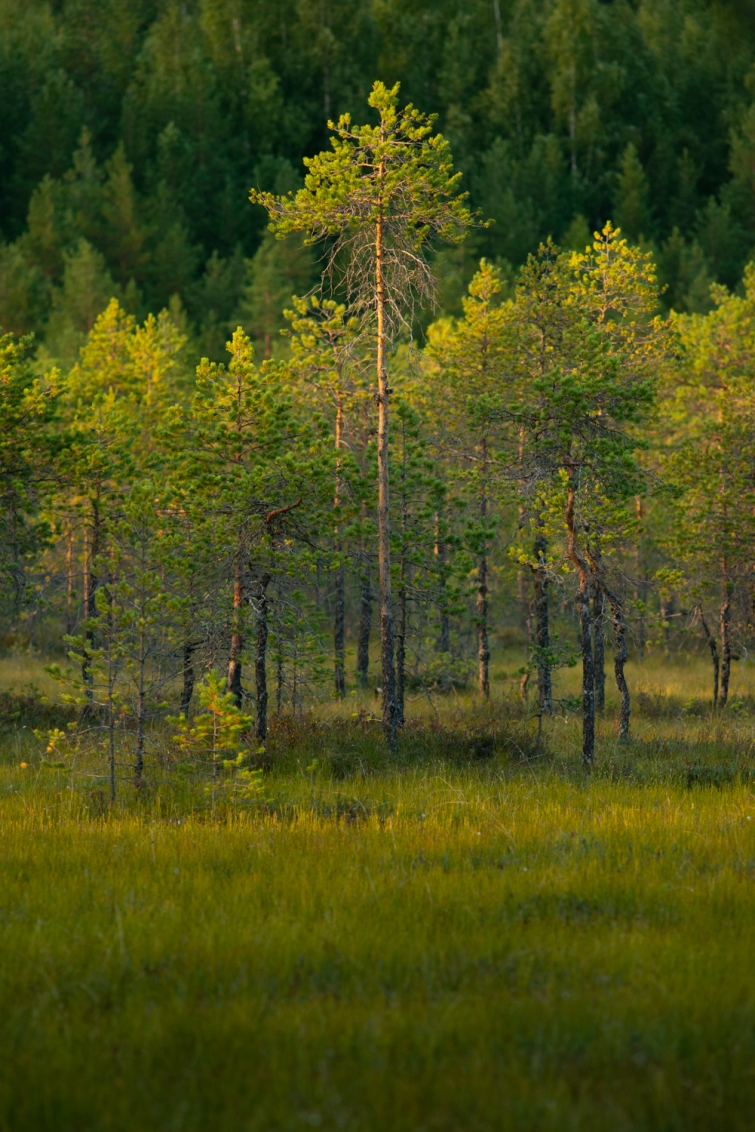 ''GREEN SWAMP TREES''. Kontiolahti, Finland.