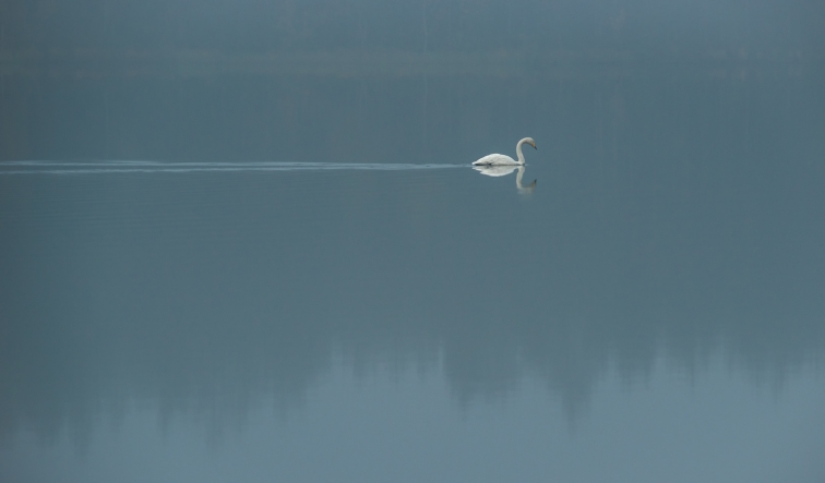 ''LONELY SWAN''. Kontiolahti, Finland.