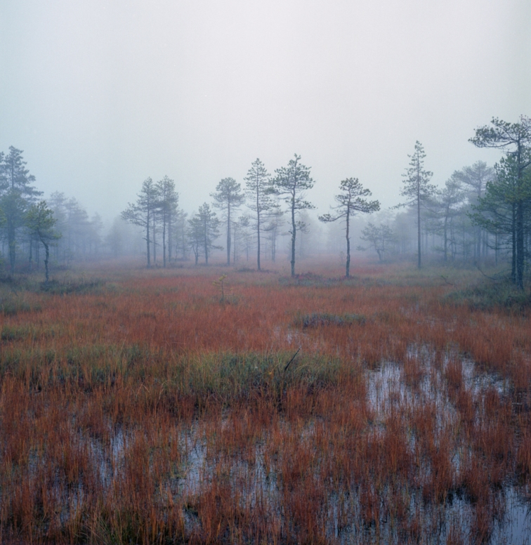 ''MISTY SWAMP TREES''. Kontiolahti, Finland.