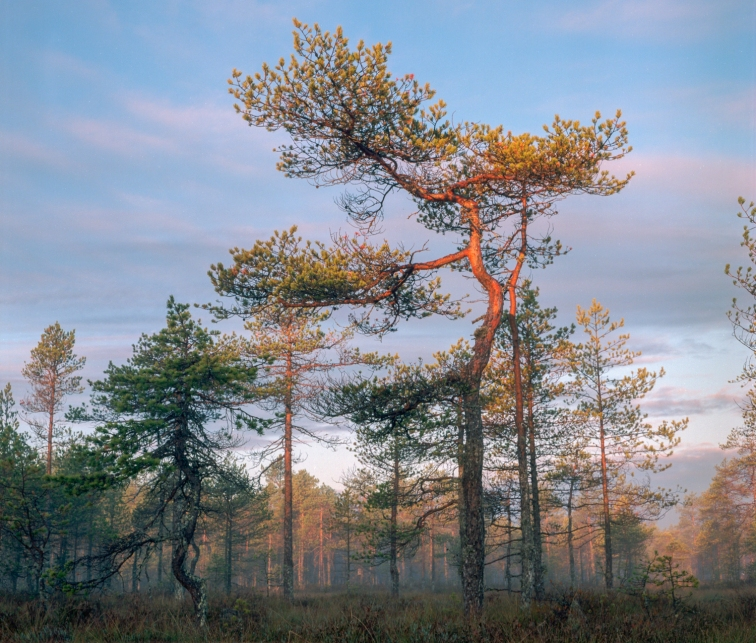 ''SUNRISE SWAMP TREES''. Kontiolahti, Finland.