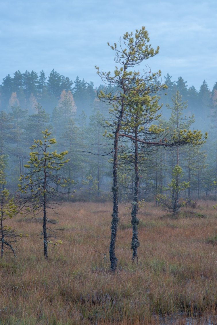 ''SWAMP TREES ON A MISTY MORNING''. Kontiolahti, Finland.